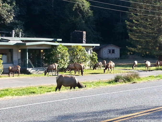 No big deal, just some elk crossing the road
