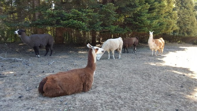 llamas on the property!